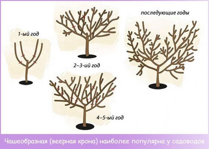 Как обрезать и когда персик. обрезка взрослого персика