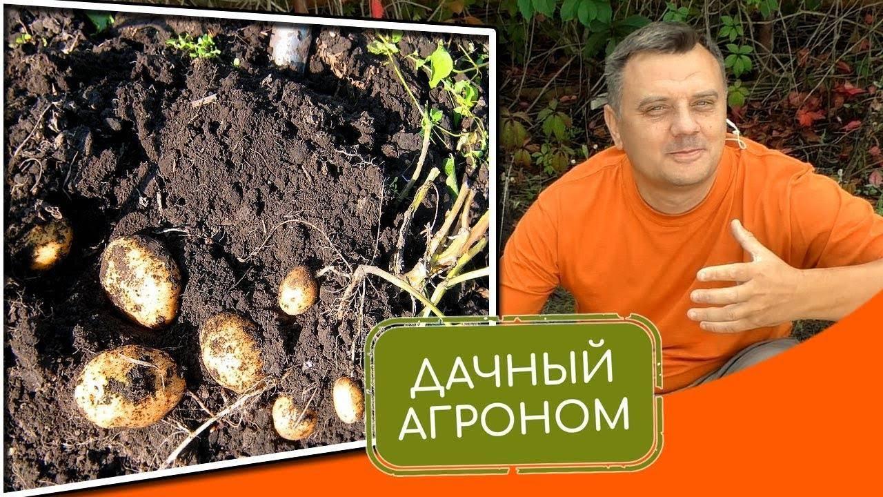 Картофель из ростков – самый быстрый способ обновить сорт