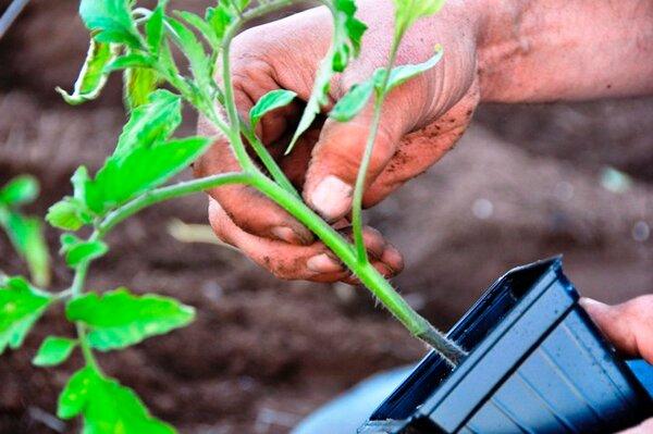 Стимуляторы роста для семян томатов: плюсы и минусы таких препаратов, а также в чем замачивать материал перед проращиванием и как опрыскивать рассаду помидоров?