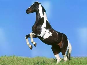 Описание и породы гнедой масти лошадей