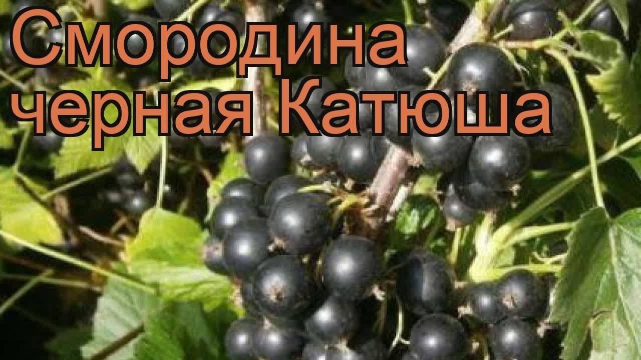 13 популярных сортов черной смородины
