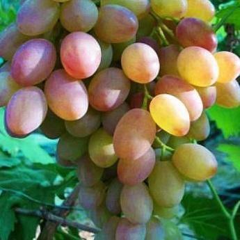 Сверхранний сорт винограда румба: хороший вариант для средней полосы россии