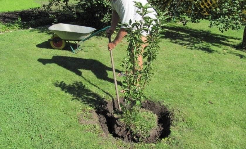 Как правильно пересадить грушу осенью. преимущества осенней посадки груши
