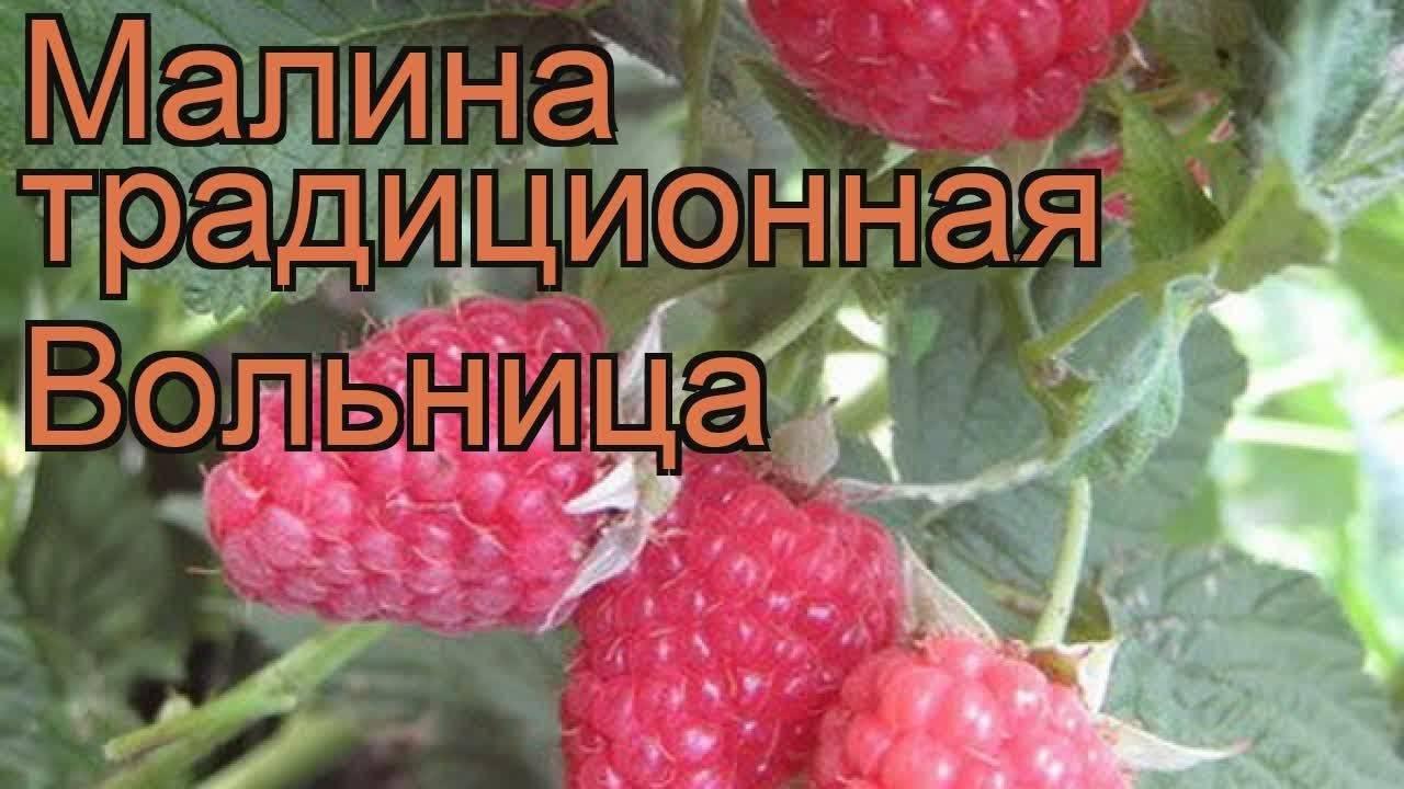 Малина сорта полана: польская пани в русском саду