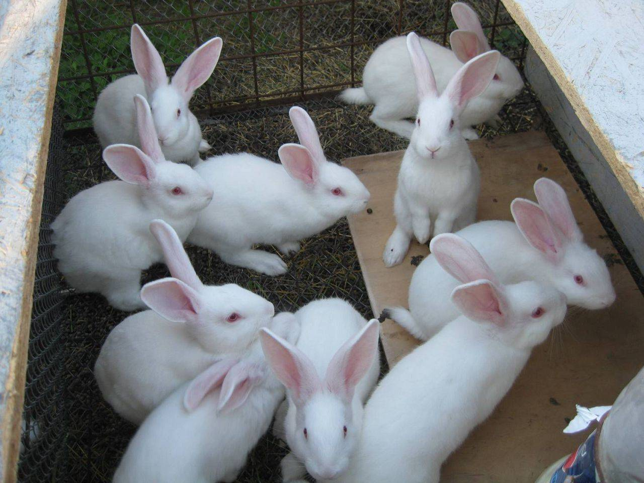 Кролик породы белый паннон: описание, разведение и уход