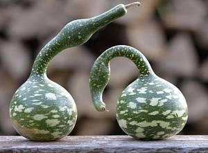 Бутылочная тыква в открытом грунте