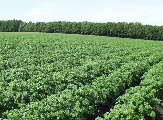 Пасадка картошку в ручную в гребень