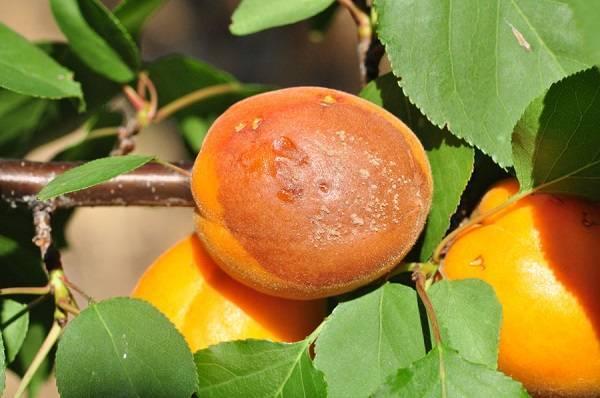 Цветение абрикоса, почему абрикос цветет но не плодоносит, как добиться плодоношения