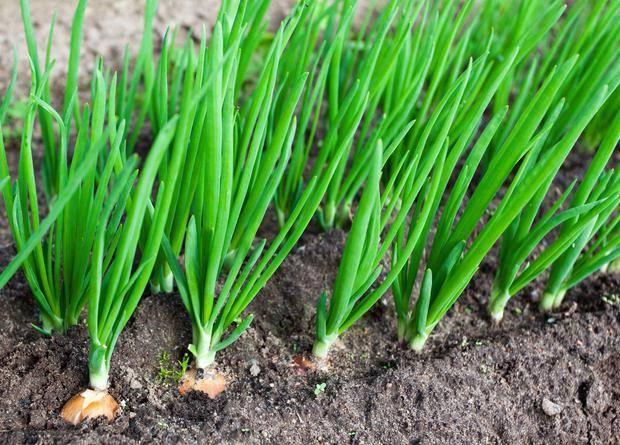 Лук чернушка – как правильно сеять на головку и зелень, сколько всходят семена, как правильно ухаживать за растениями?