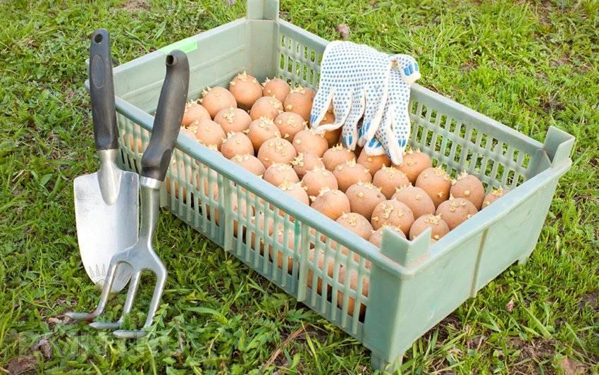 Обработка картофеля от колорадского жука перед посадкой - выбираем способ