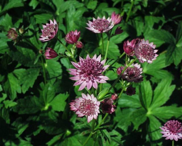 Астранция (58 фото): сорта и виды с названиями, посадка и уход за цветком в открытом грунте, описание травянистых растений «мулен руж» и «розовая симфония»