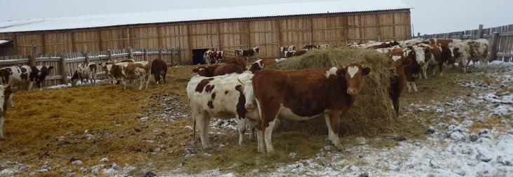 Откорм бычков: этапы откорма и необходимые продукты