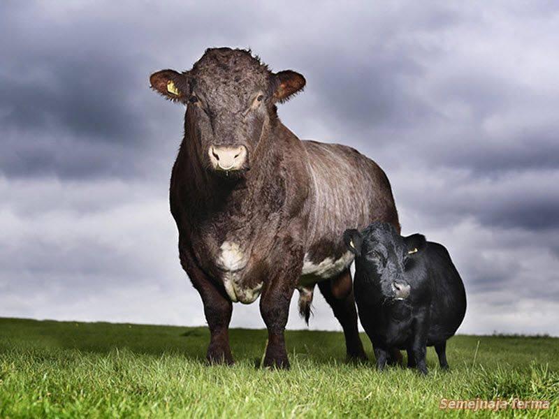 Карликовые коровы-ангусы – история породы в россии