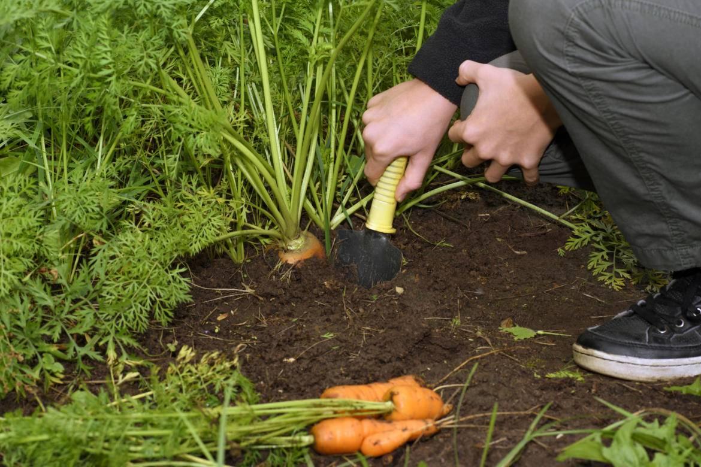 Сроки посадки моркови в средней полосе россии, на урале, советы и рекомендации