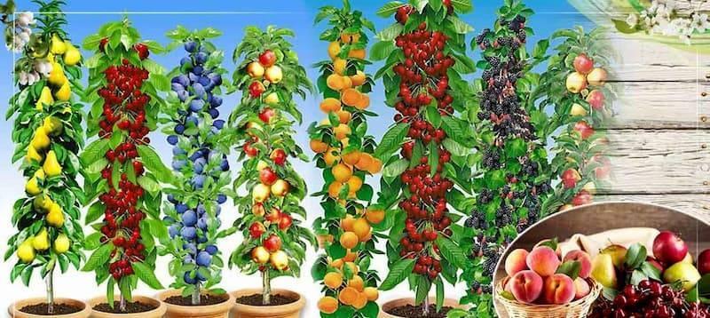 Колоновидные фруктовые деревья и плодовые растения
