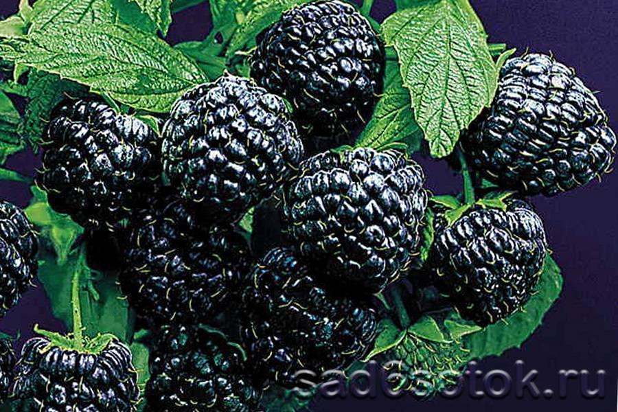 Черная малина: описание, сорта, посадка и уход