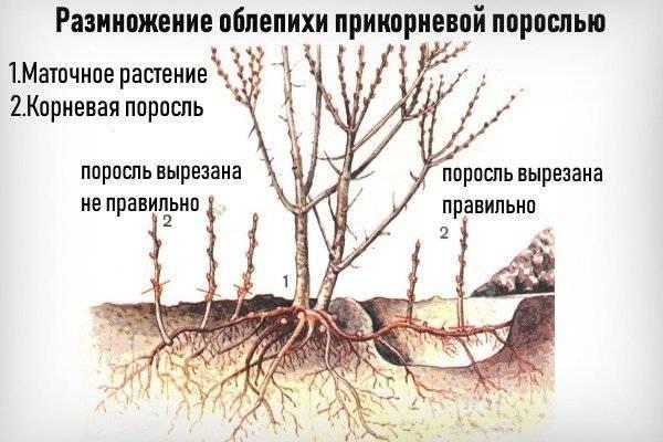 Облепиха: посадка и уход, обрезка и размножение