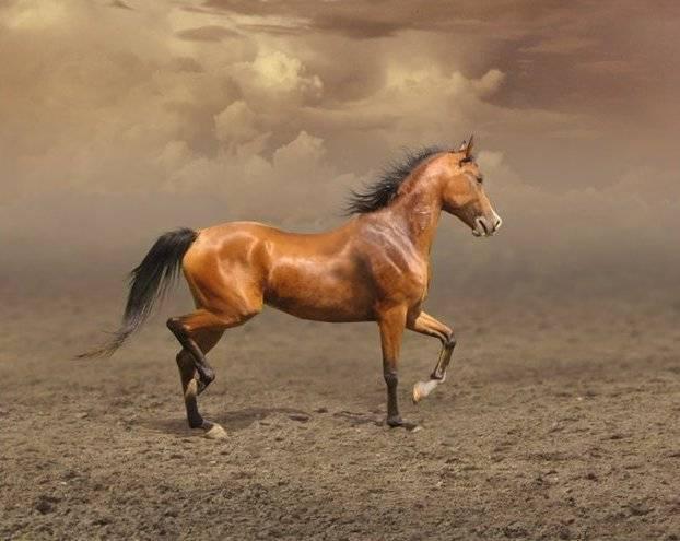 Арабская чистокровная лошадь: характеристики и описание скакунов