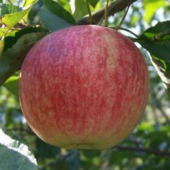 Яблоня 'боровинка' — википедия