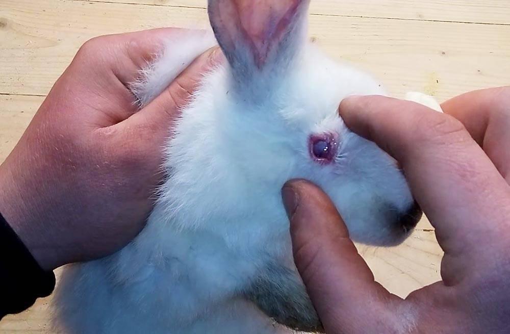 Болезни кроликов: симптомы и их лечение в домашних условиях