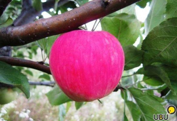 Особенности посадки яблони мантет