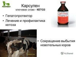 Что такое кетоз у коровы и КРС (симптомы, как лечить заболевание)