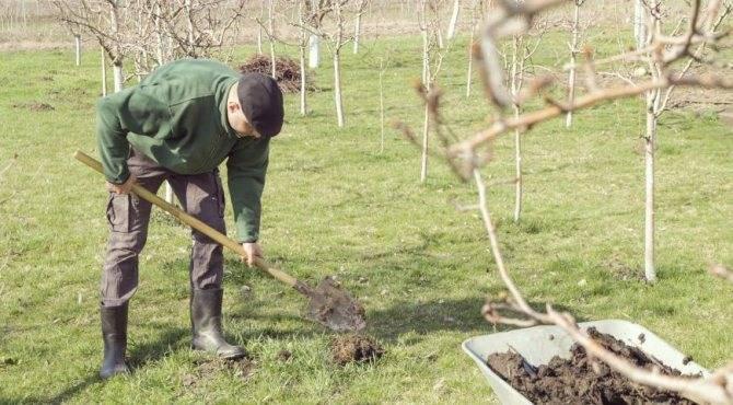 На каком расстоянии сажать яблони друг от друга (схема посадки яблоневого сада)