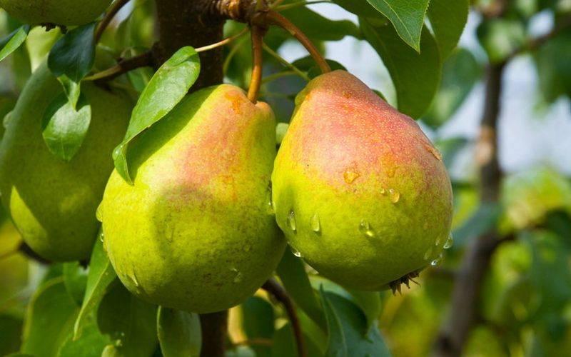 Крупноплодная груша лира — устойчива к морозам и парше