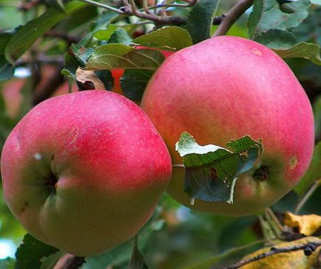 Алма-атинские яблоки :: именитый алма-атинский апорт | разные интересности