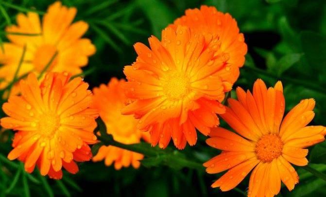 Цветы календула: посадка и уход в открытом грунте, выращивание из семян