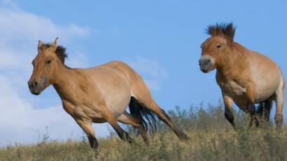 Лошадь пржевальского — википедия с видео // wiki 2