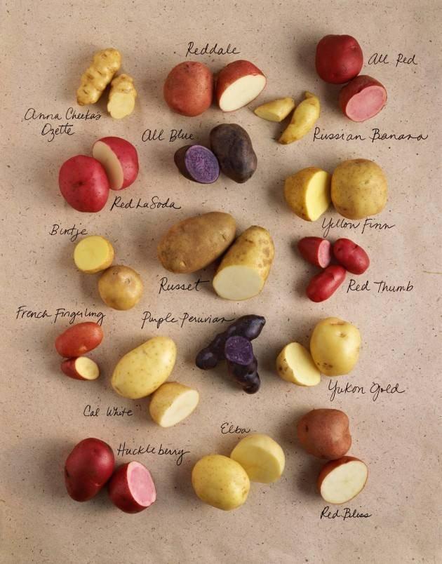 Лучшие сорта картофеля для сибири, урала, юга и средней полосы