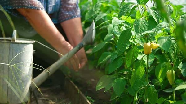 Как часто поливать перец в теплице и в открытом грунте