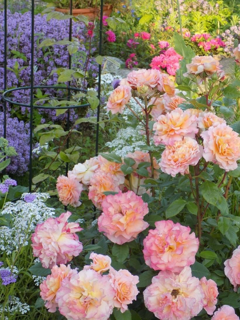 Характеристики розы августа луиза