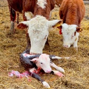 Процесс спаривания коров