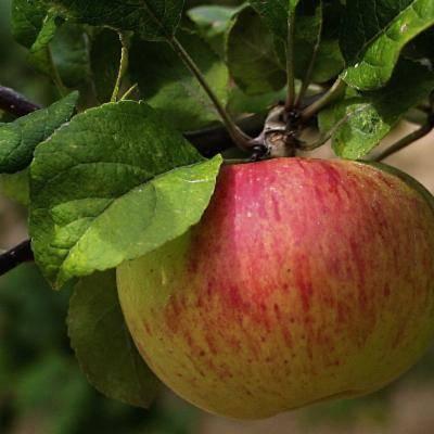 Описание и характеристики сорта яблонь коробовка, посадка, выращивание и уход