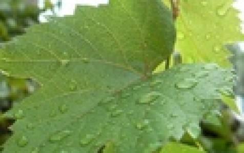 У винограда сохнут листья по краям и скручиваются: поиск болезней, вредителей и рекомендации по восстановлению виноградных лоз. руководство по профилактике основных заболеваний винограда (115 фото)