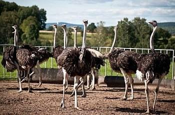 Особенности разведения страусов в домашних условиях
