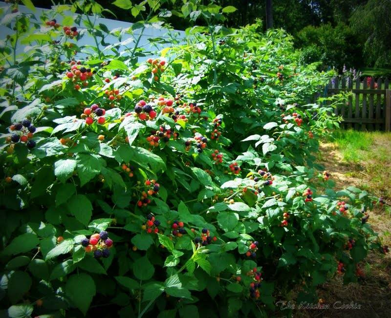 Сорта плодовых и ягодных деревьев, садовые плодово-ягодные кустарники