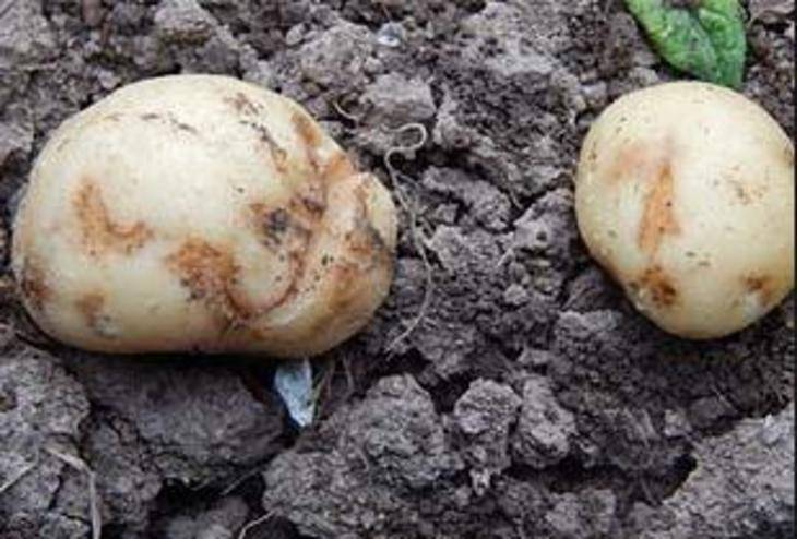 Болезни картофеля — фото, описание и лечение парши, сухой гнили