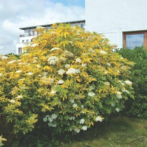 Бузина красная (39 фото): описание декоративного дерева. бузина кистистая и «сазерленд голд», «плюмоза ауреа» и другие. где растет в россии?