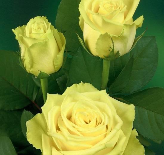 """""""мансера роза и ваниль"""": отзывы, описание аромата, производитель. mancera roses vanille"""