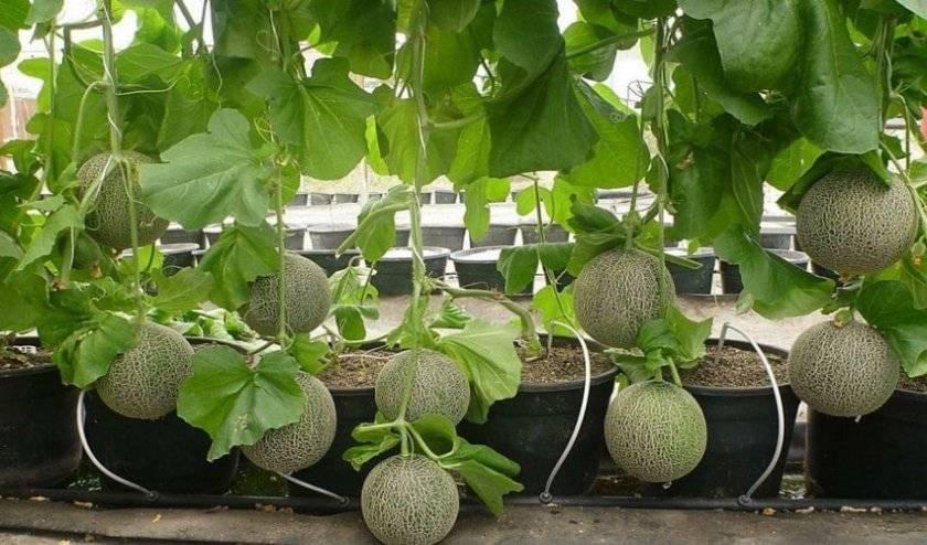 Как прищипывать дыню на грядке и в тепличных условиях. правильное формирование куста дыни: в чем отличия тепличных растений