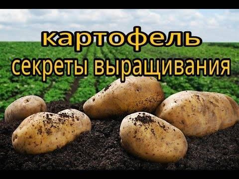 Через сколько дней после посадки всходит картофель