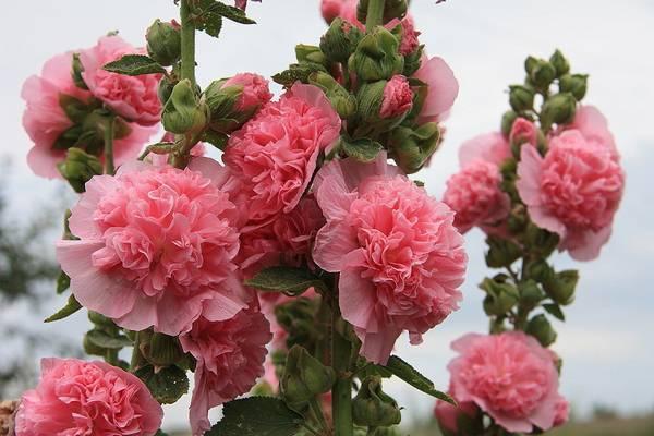 Шток роза - выращивание из семян, когда сажать семена на рассаду, правила выращивания