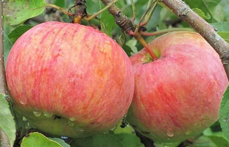 Яблоня коричное полосатое: описание сорта и его фото, посадка и уход