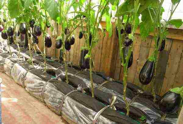 Как сажать баклажаны рассадой в открытый грунт