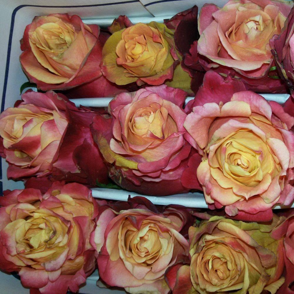 Роза черри бренди: описание цветка и фото этого сорта, особенности выращивания и ухода, советы по борьбе с болезнями и вредителями