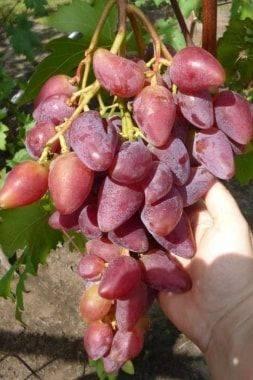 Лёгкий в выращивании и необычный на вид — столовый виноград дубовский розовый