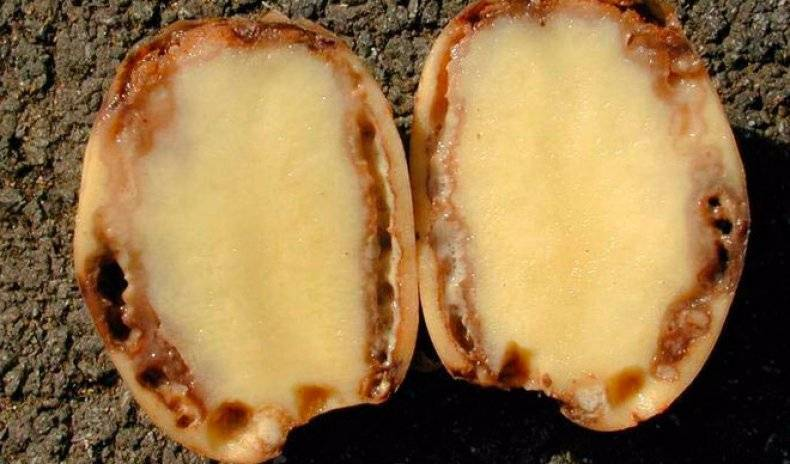 Заболевания картофеля фото